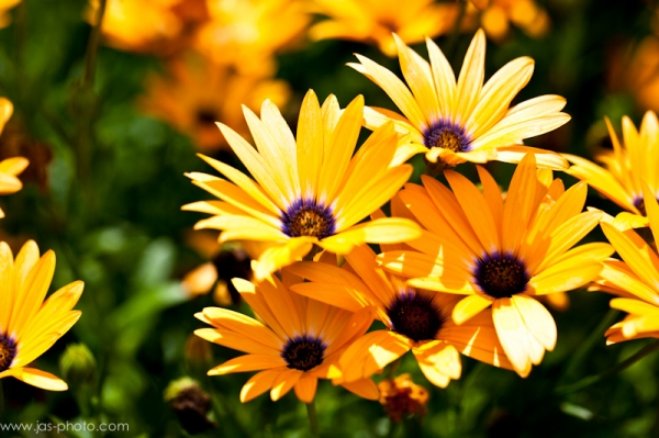bright vibrant orange yellow and purple flowers free download picture for personal use